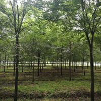 紅櫸樹價格_紅櫸樹圖片_紅櫸樹產地_紅櫸樹綠化苗木苗圃基地