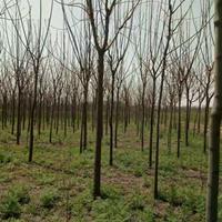 苦楝價格_苦楝圖片_苦楝綠化苗木苗圃基地