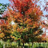 美国红枫价格_美国红枫产地_美国红枫绿化苗木苗圃基地
