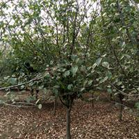 木瓜海棠价格_木瓜海棠产地_木瓜海棠绿化苗木苗圃基地