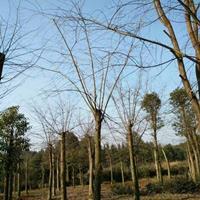 樸樹價格_樸樹圖片_樸樹產地_樸樹綠化苗木苗圃基地