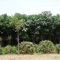 七葉樹價格_七葉樹圖片_七葉樹產地_七葉樹綠化苗木苗圃基地