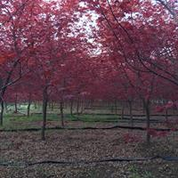 日本紅楓價格_日本紅楓產地_日本紅楓綠化苗木苗圃基地