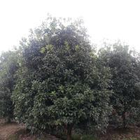 四季桂花图片-四季桂花价格-绿化苗木苗圃基地直销
