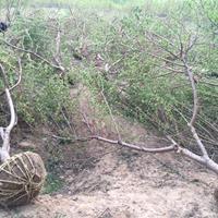 山桃树图片-山桃树价格-绿化苗木苗圃基地直销