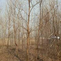 烏桕價格_烏桕圖片_烏桕產地_烏桕綠化苗木苗圃基地