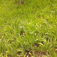 德國鳶尾價格_鳶尾圖片_鳶尾產地_鳶尾綠化苗木苗圃基地