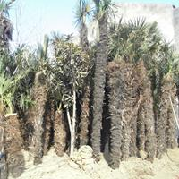 棕榈价格_棕榈基地_棕榈产地_棕榈绿化苗木苗圃基地