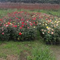 丰花月季价格_丰花月季产地_丰花月季绿化苗木苗圃基地
