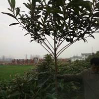 枇杷价格_枇杷图片_枇杷绿化苗木苗圃基地