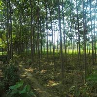 重阳木价格_重阳木图片_重阳木产地_重阳木绿化苗木苗圃基地