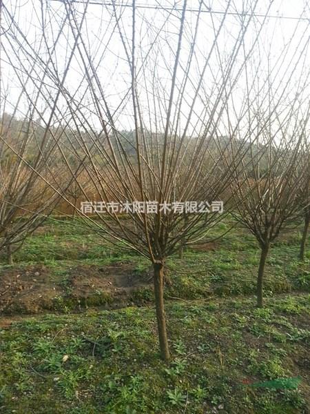 红绿梅花价格_红绿梅花图片_红绿梅花产地绿化苗木苗圃基地