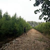 池杉价格_池杉图片_池杉产地_池杉绿化苗木苗圃基地