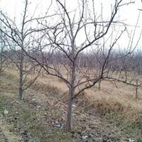 柿树价格_柿树图片_柿树产地绿化快乐赛车玩法苗圃基地