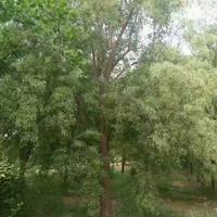丝棉木价格_丝棉木图片_丝棉木产地_丝棉木绿化快乐赛车玩法苗圃基地