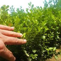 雀舌黃楊價格_雀舌黃楊圖片_雀舌黃楊產地綠化苗木苗圃基地