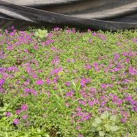 花叶燕麦草、火炬花、棕红苔草、射干、富贵草、花叶美人蕉