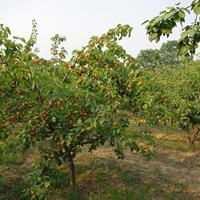 杏树价格_杏树图片_杏树产地_杏树绿化苗木苗圃基地