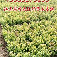 供应黄杨苗高度10-20-30公分小叶黄杨苗价格瓜子黄杨苗