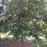 五角楓,三角楓,元寶楓,七葉樹,木瓜,皂角,樸樹,黃連木,大