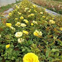 黃帽月季價格_黃帽月季產地_黃帽月季綠化苗木苗圃基地