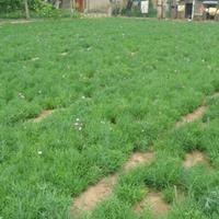 地被石竹价格_地被石竹产地_地被石竹绿化苗木苗圃基地