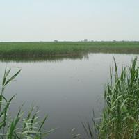 芦苇价格_芦苇图片_芦苇产地绿化苗木苗圃基地