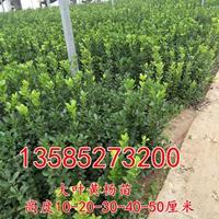 供应大叶黄杨苗高度10-20-30-40厘米大叶黄杨色块苗价