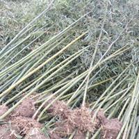 菲白竹价格_菲白竹图片_菲白竹产地绿化苗木苗圃基地