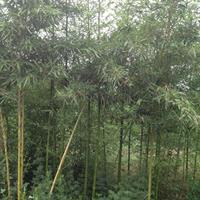 罗汉竹价格_罗汉竹图片_罗汉竹产地绿化苗木苗圃基地