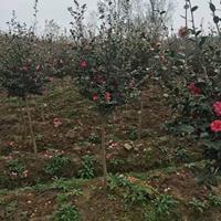 茶梅價格_茶梅圖片_茶梅產地_茶梅球綠化苗木苗圃基地