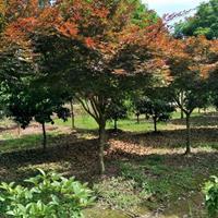 江苏大量供应大小规格红枫,美国红枫日本红枫量大优惠