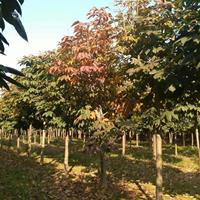 七叶树  1--20公分