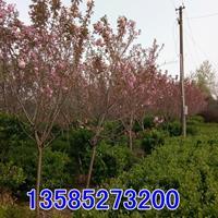 供應櫻花樹5/6公分櫻花,日本晚櫻,早櫻,櫻花綠化苗木產地