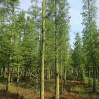 九江快乐赛车开奖大规格水杉 池杉 质量如图
