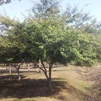 雞爪槭價格-8公分雞爪槭報價-雞爪槭圖片-雞爪槭小苗批發