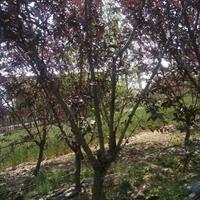 5公分红叶桃价格-红叶桃图片-红叶桃产地-碧桃苗木基地