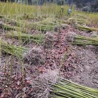 柴桑区供应檫树小苗檫树苗价格造林檫树