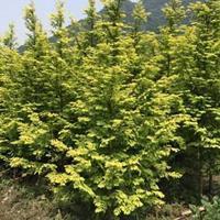 金葉水杉批發-金葉水杉價格-金葉水杉圖片-水杉小苗供應