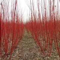 高度100红瑞木批发-红瑞木价格-红瑞木图片-红瑞木小苗供应
