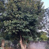 丛生五味子树地径80