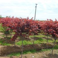 日本紅楓批發-日本紅楓價格-紅楓報價-日本紅楓小苗