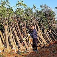 供應12-15-18公分切桿桂花樹,10公分切桿羅漢松