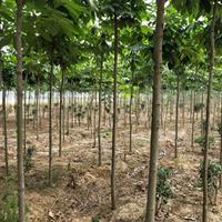 七葉樹批發-七葉樹價格-七葉樹報價-七葉樹小苗-紅花七葉樹