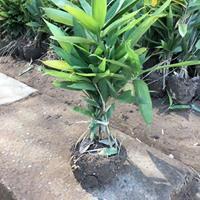 箬竹批发-箬竹价格-箬竹图片-箬竹小苗供应-箬竹苗木基地