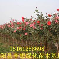月季花报价月季花价格月季花图片月季花产地苗圃