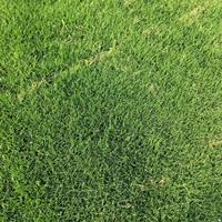 百慕大批发-百慕大草坪价格-百慕大图片-百慕大报价-草坪