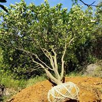 丛生柚子树,丛生香泡,丛生香橼,移栽丛生柚子树,香泡,香橼