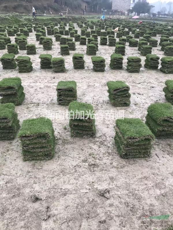 马尼拉草坪,湖南草皮,草皮批发,草坪基地,专供马尼拉