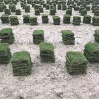 馬尼拉草坪,湖南草皮,草皮批發,草坪基地,專供馬尼拉